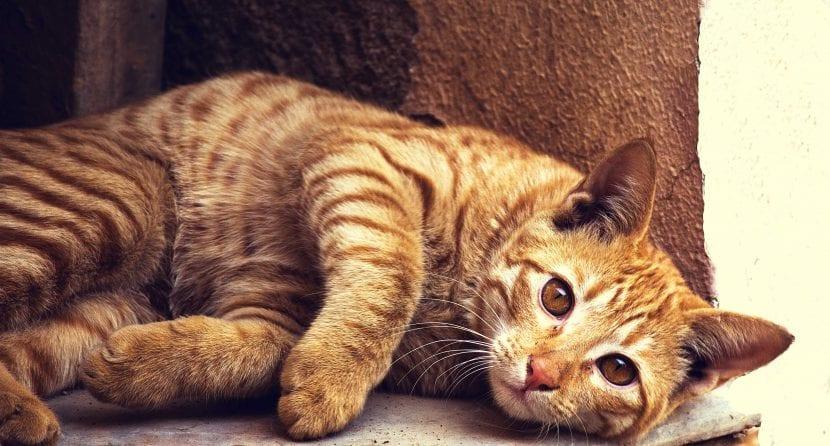 Gato atigrado naranja tumbado