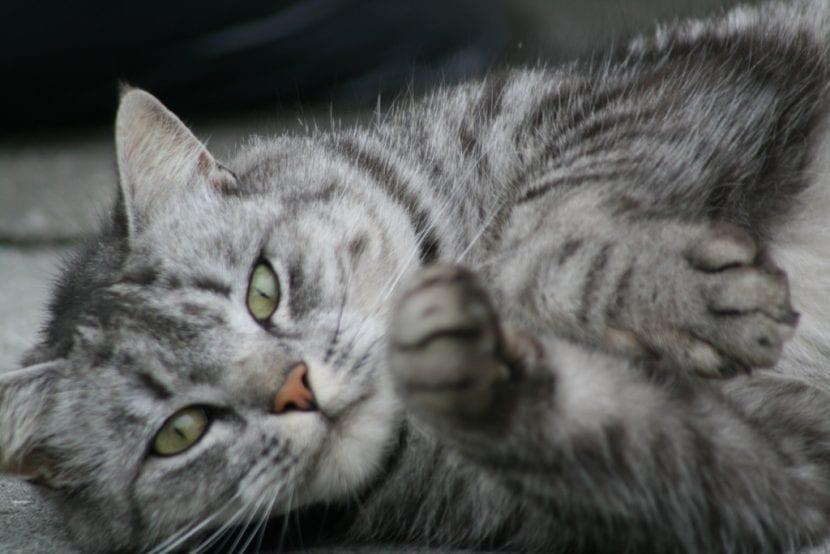 Gato atigrado relajado