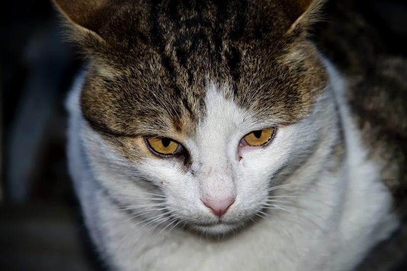 Gato atigrado triste y enfermo