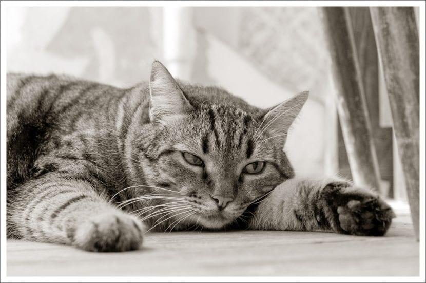 Gato atigrado tumbado en el suelo