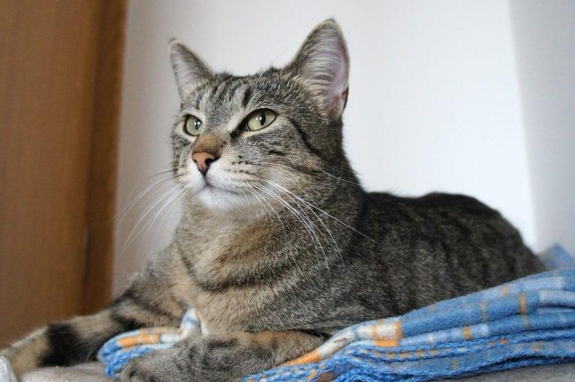 Gato atigrado tumbado encima de mantas