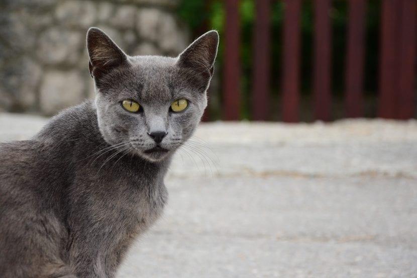 Gato azulado en la calle