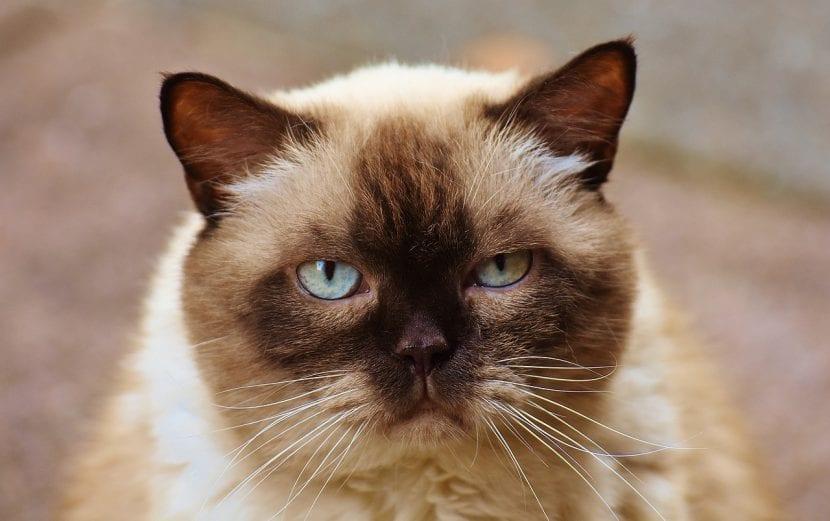 Gato bicolor adulto
