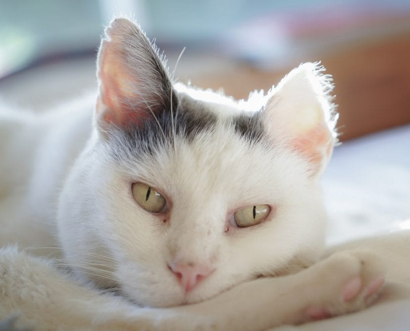 Gato blanco tumbado