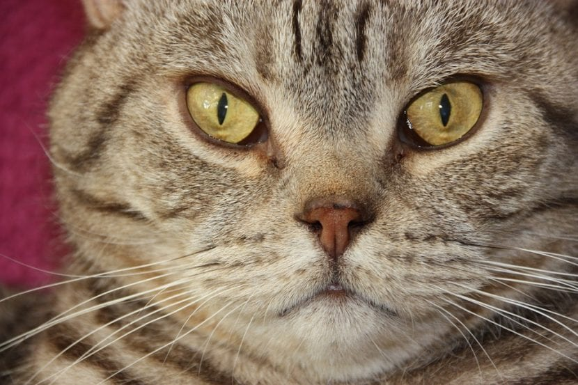 Gato británico de pelo corto y atigrado