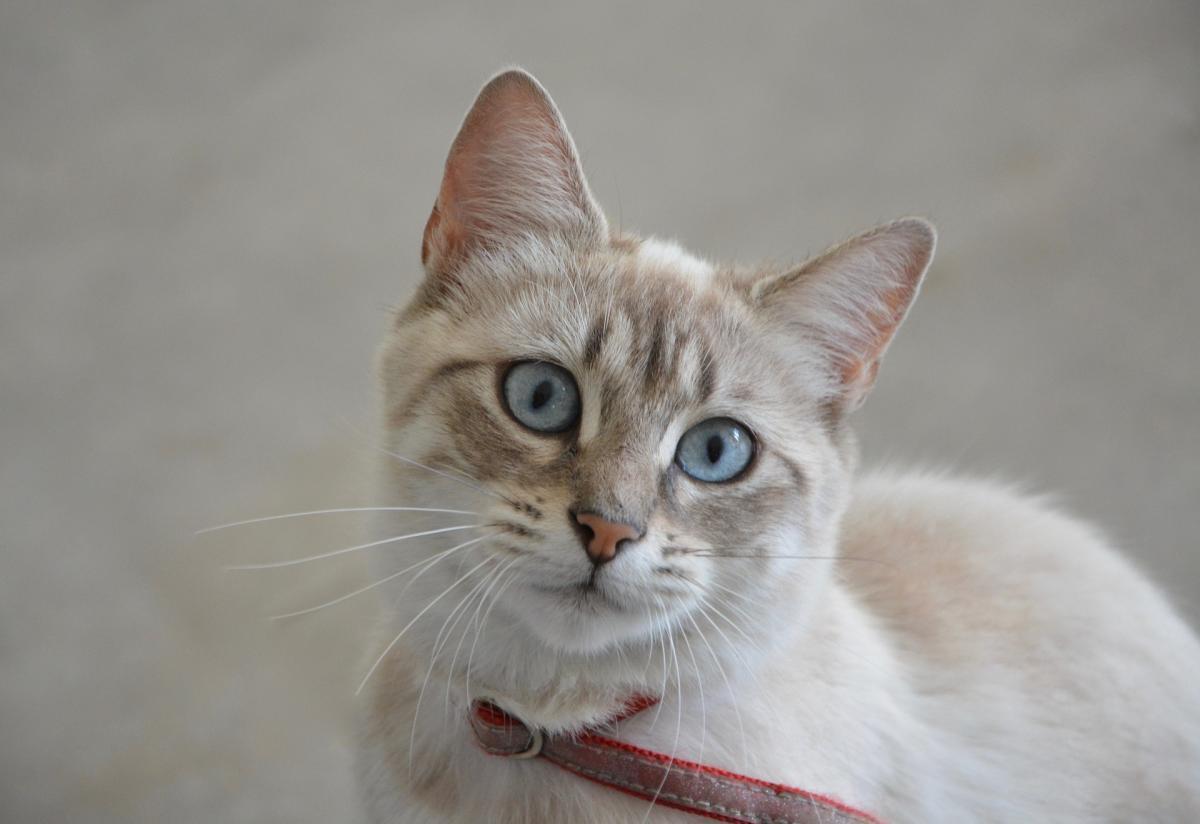 Hay varios motivos por los que un gato puede quedarse sin bigotes