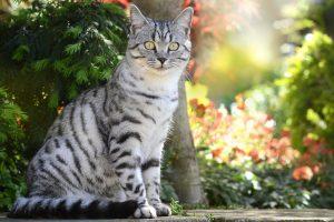 Los gatos de pelo corto no necesitan cortes de pelo