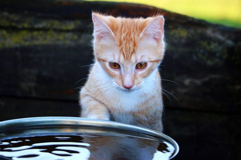 Gato joven bebiendo agua