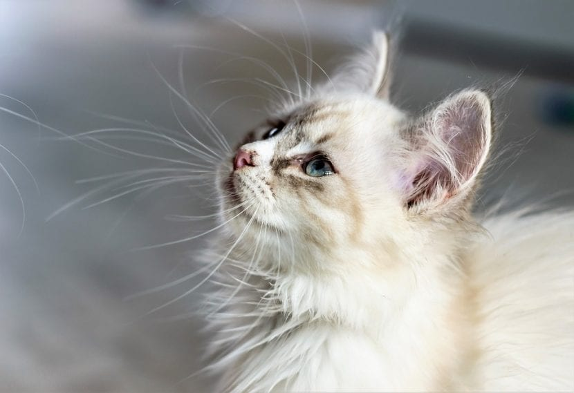 Gato joven de pelo blanco