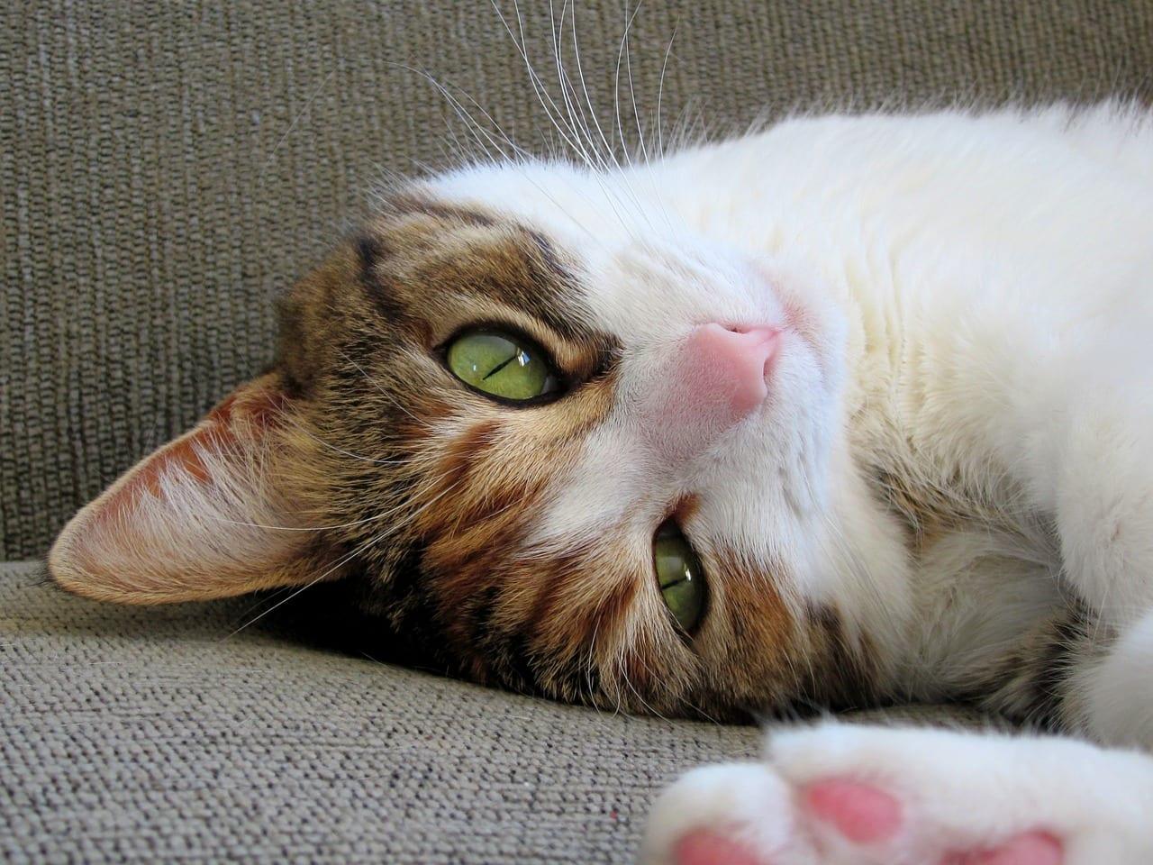 Gato joven tumbado en el sofá