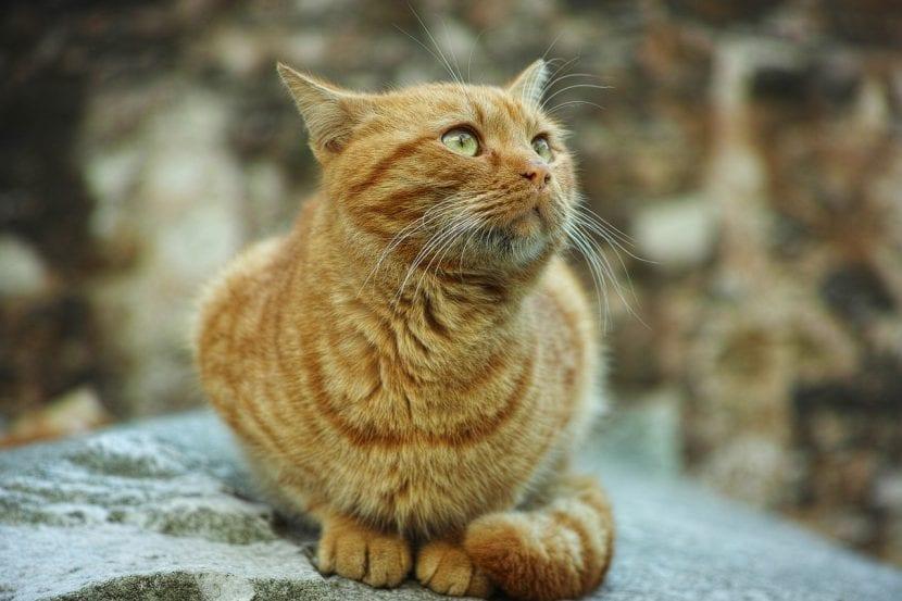 Gato naranja callejero