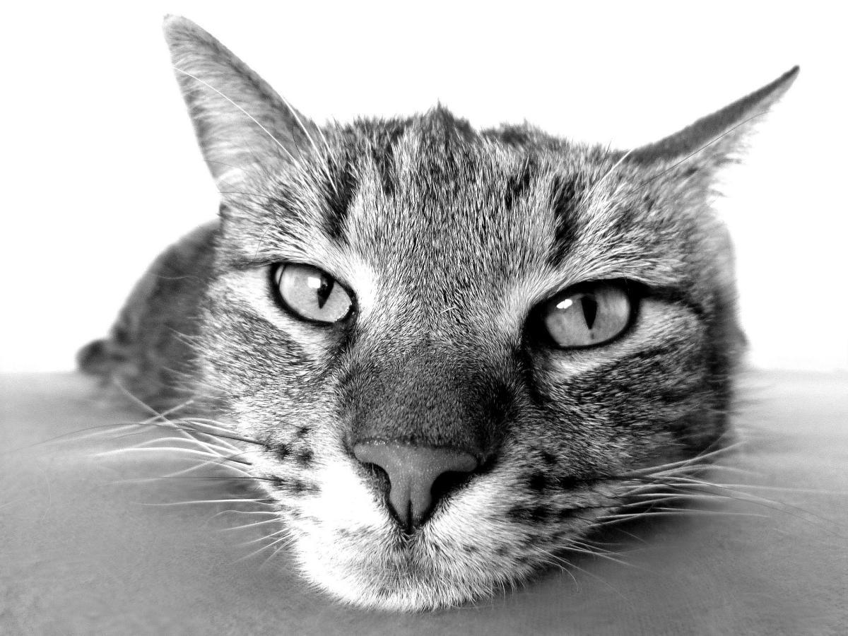 Los bigotes de los gatos se llaman vibrisas