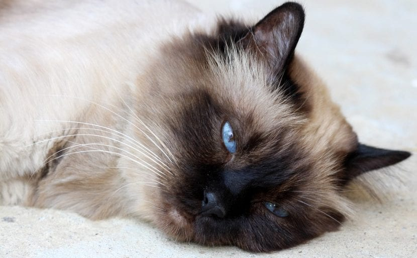 Gato triste tumbado en la cama