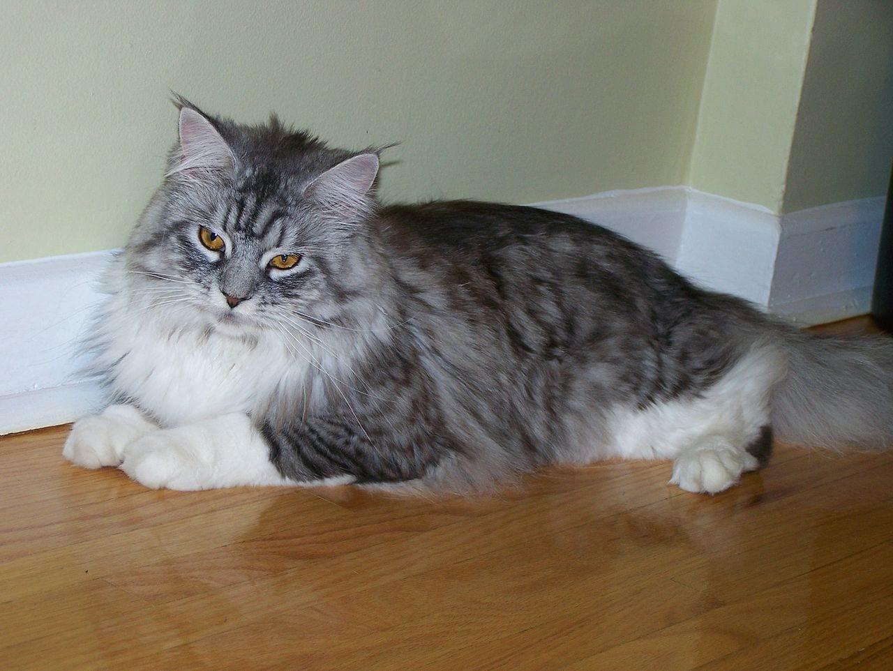 Gato Maine Coon atigrado