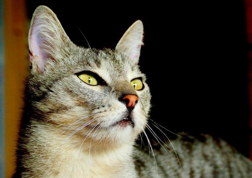 Precioso gato atigrado