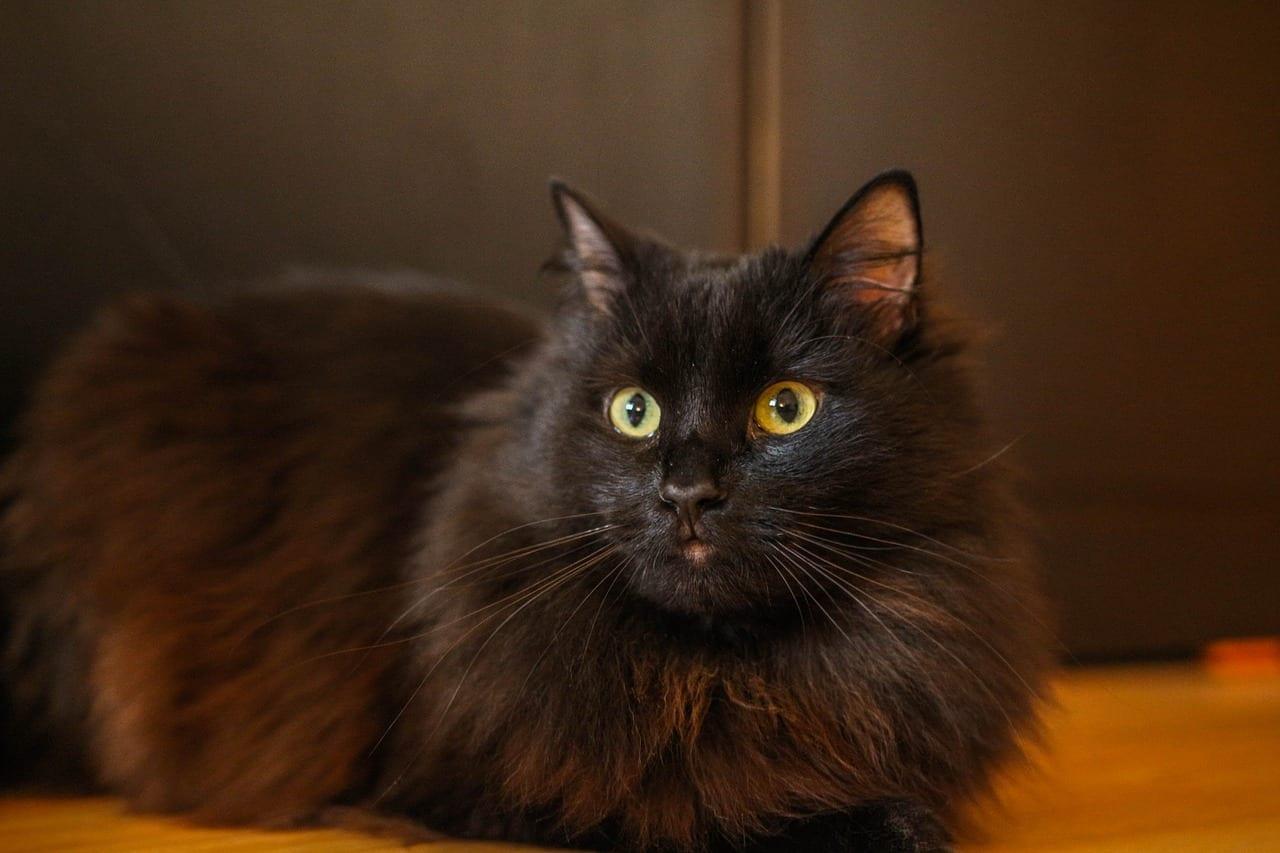 Un precioso gato negro