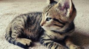 Los gatitos de más de un mes aprenden rápido a comer solos