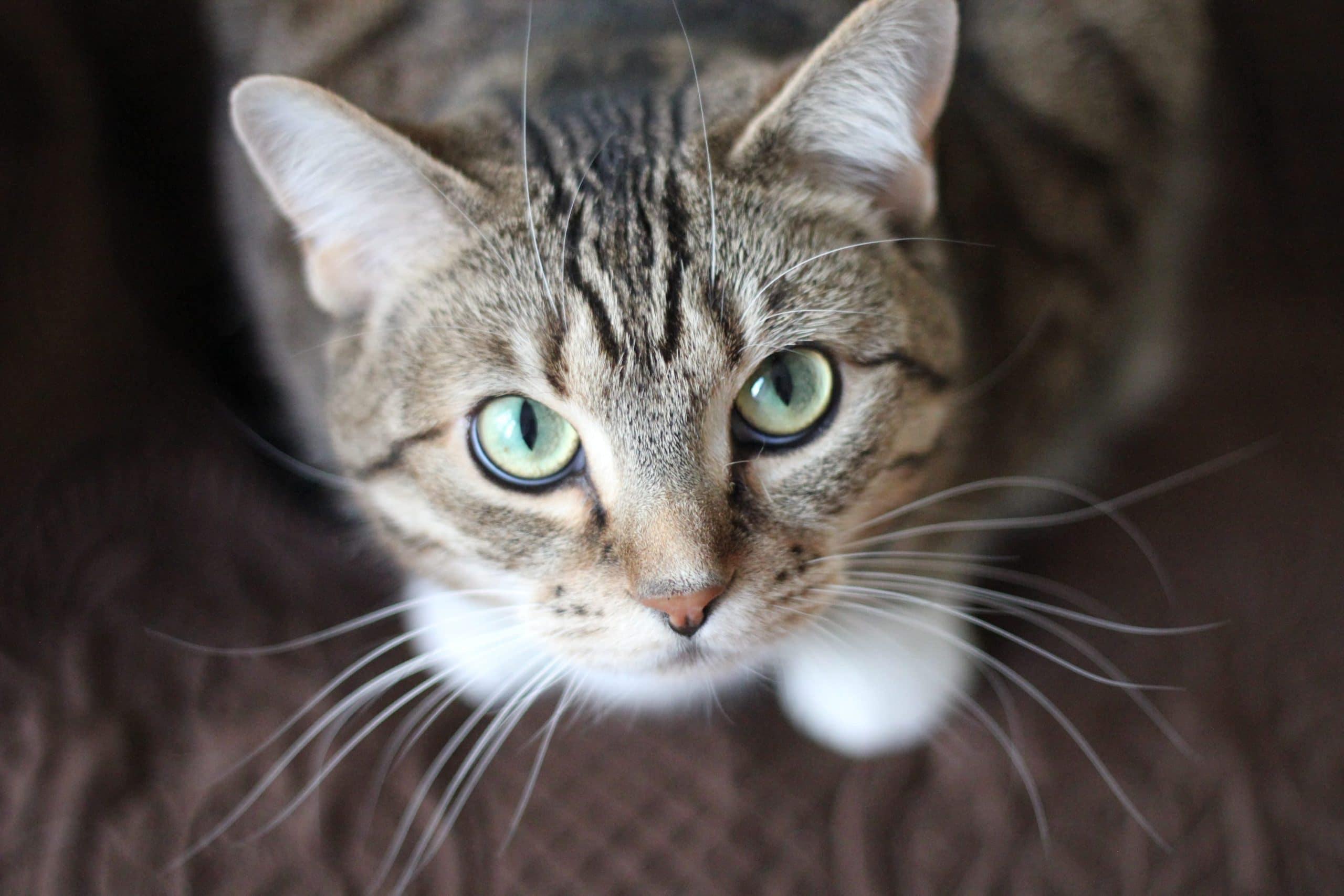Gato adulto atento