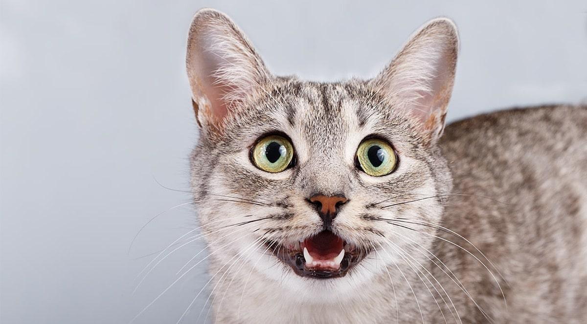 Si tu gato jadea, debes llevarlo al veterinario