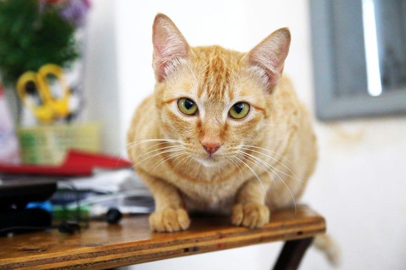 Gato naranja sobre la mesa