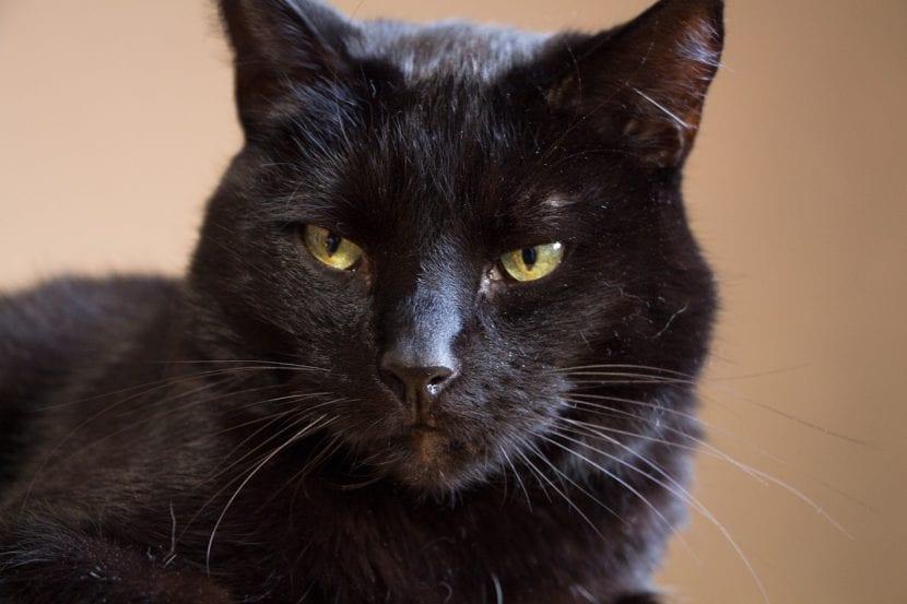 Precioso gato negro adulto