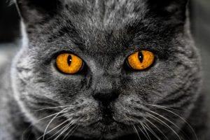 Precioso gato gris