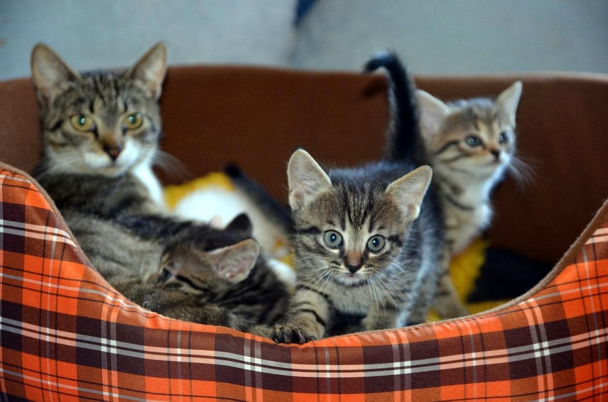 Los gatitos se alimentan con leche cuando son bebés