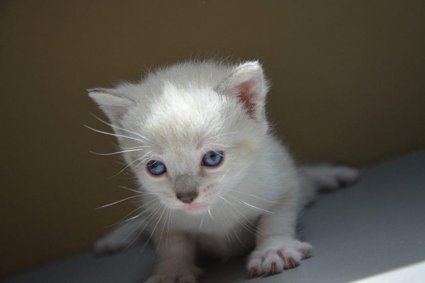 Gatito blanco muy joven