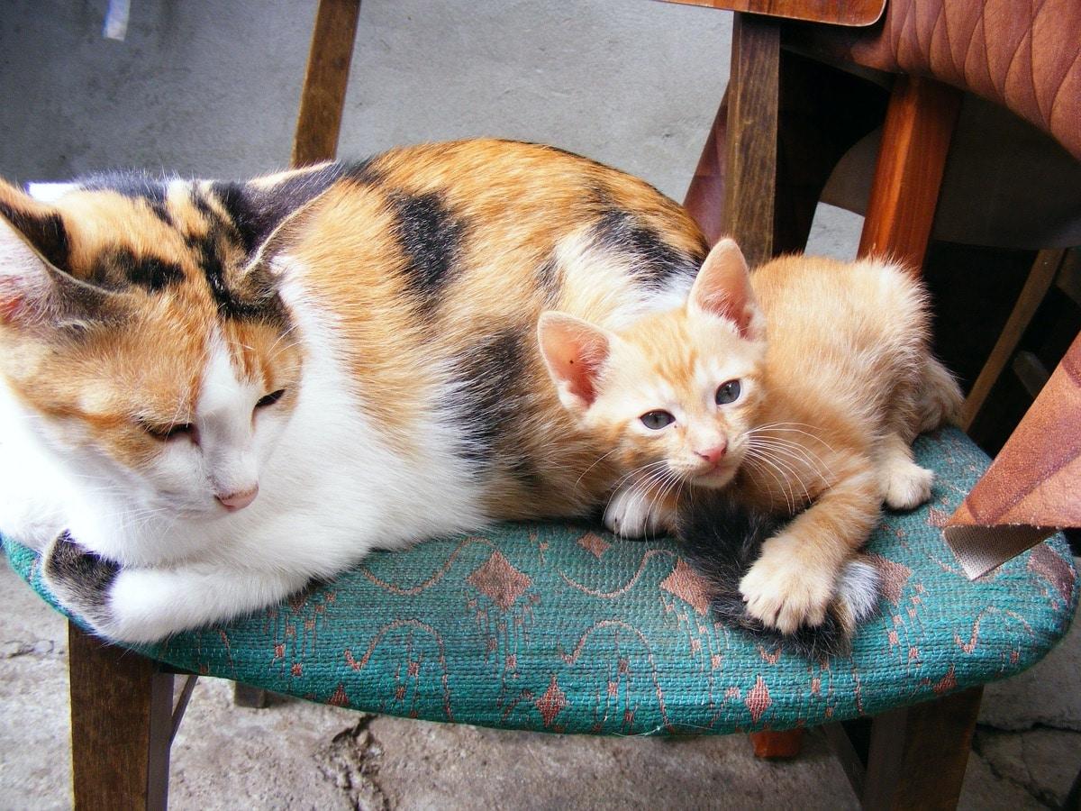 La mamá gata sabe cómo destetar a los gatitos