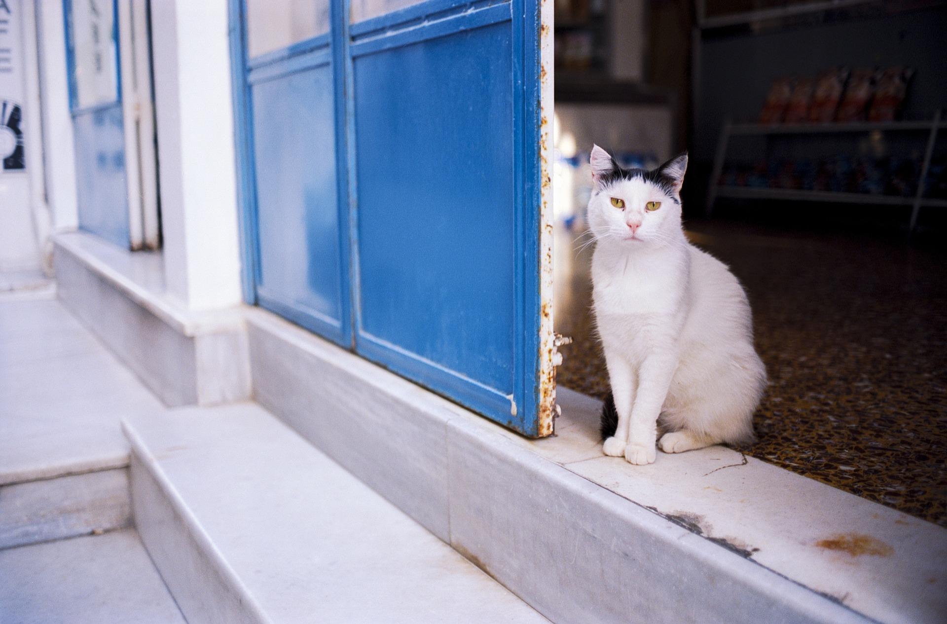 Los gatos que salen a la calle son más vulnerables a las pulgas