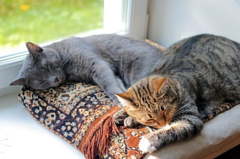 El gato-gato disfruta con la compañía de los de su especie
