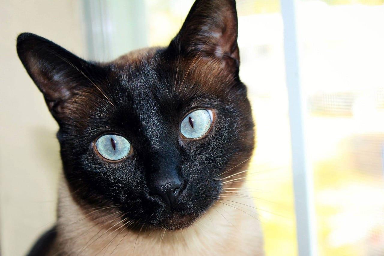 Cara de un gato siamés