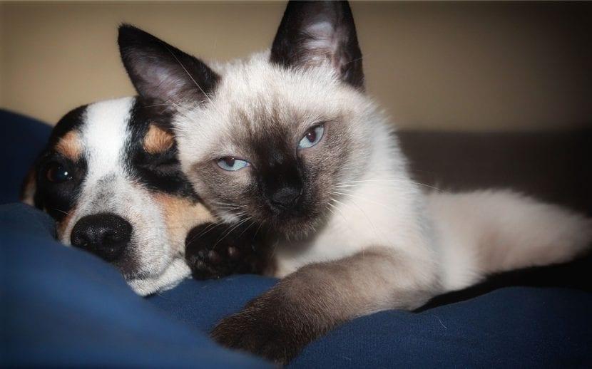 Un gatito siamés con un perro durmiendo