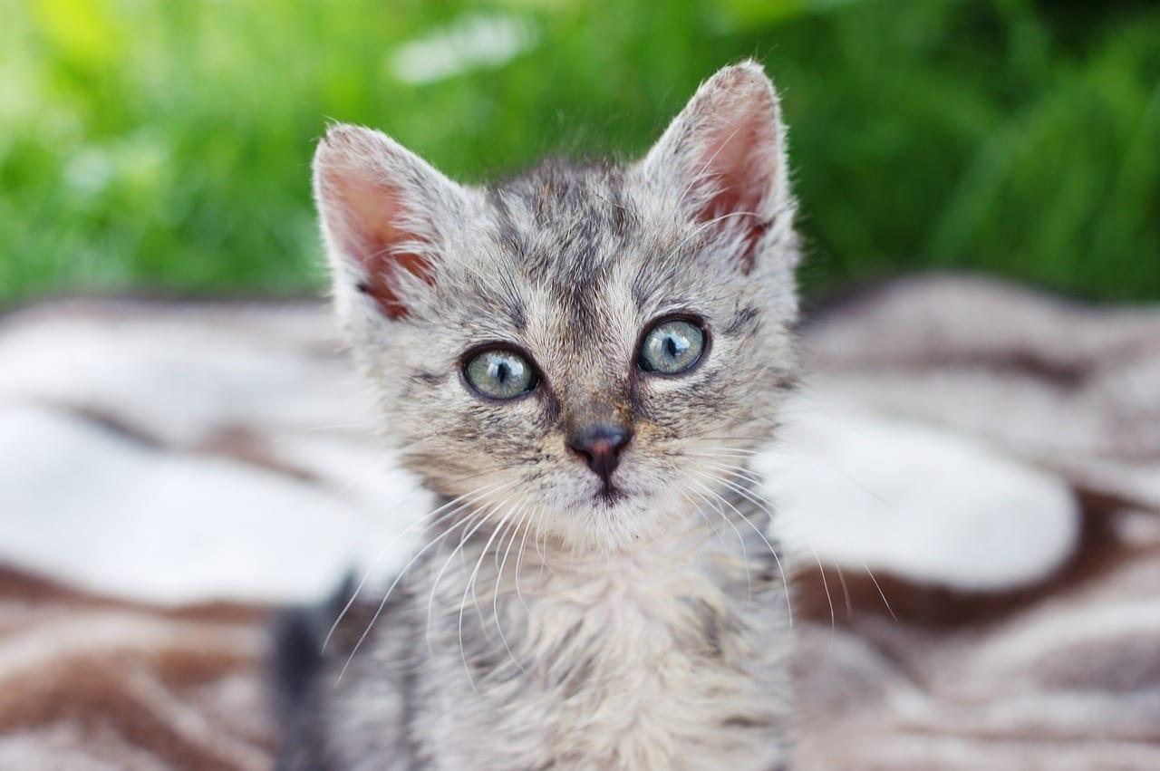 Adorable gatito atigrado