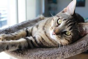 Gato atigrado en su cama