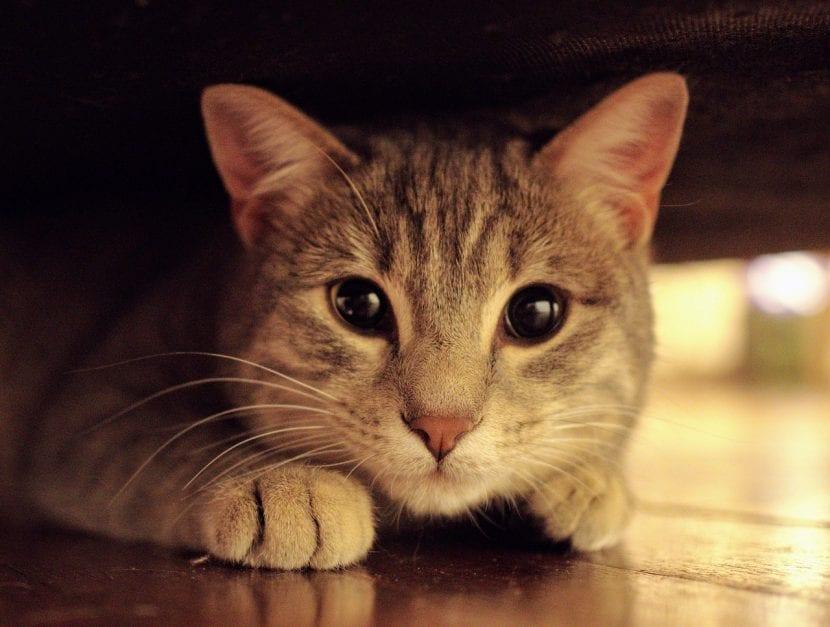 Gato atigrado triste