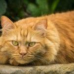 Un gato naranja adulto descansando