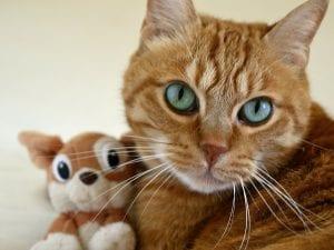 Gato naranja con su peluche