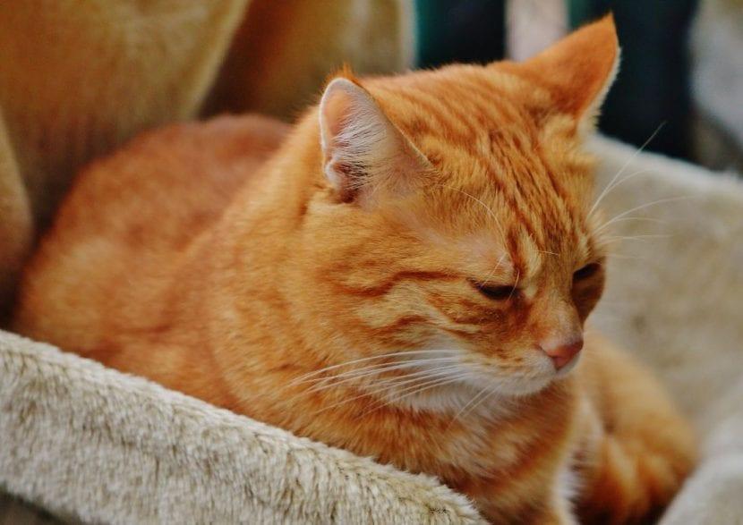 Gato adulto de pelo naranja durmiendo