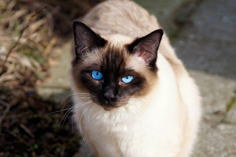 Gato de ojos azules