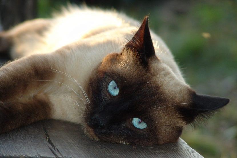 Gato siamés tumbado