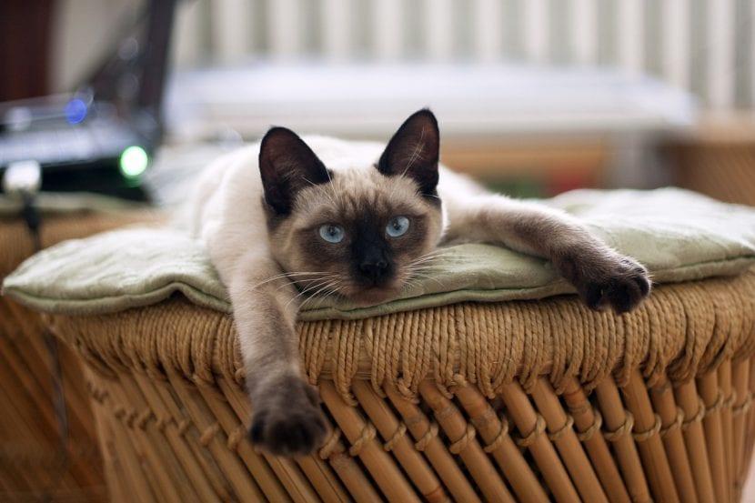 Gato tailandés joven
