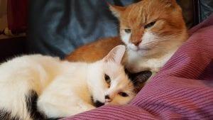 Dos gatos pueden llevarse bien si viven juntos en la misma casa