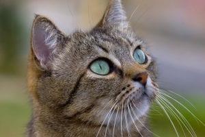 Precioso y adorable gato con el pelo atigrado