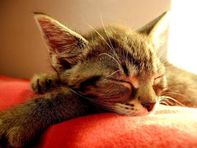 Los gatos aletargados pasan muchas horas durmiendo