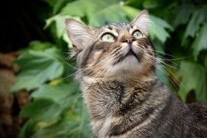 El gato es un animal que no se ha domesticado
