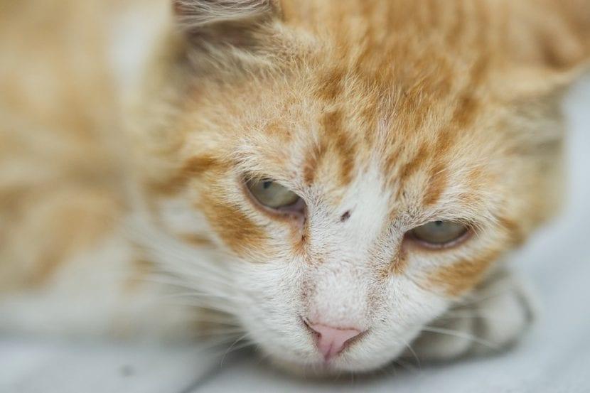 La depresión en gatos podría causarle la pérdida de apetito