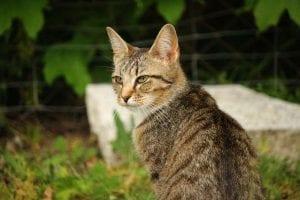 Gato atigrado joven
