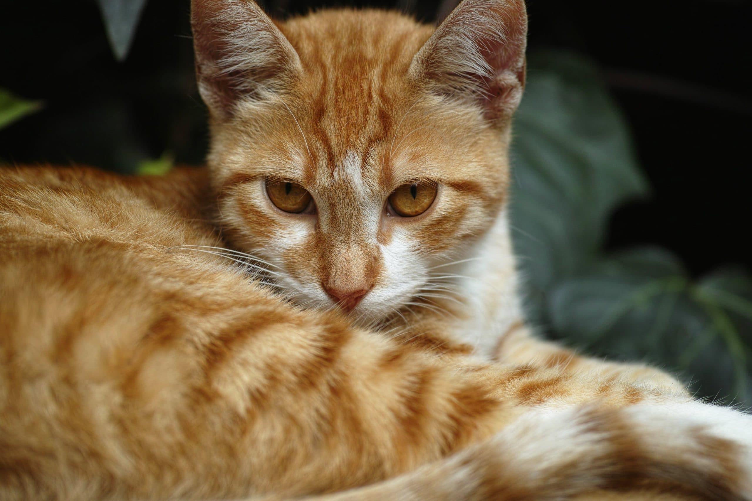 Los gatos atigrados pueden ser naranjas