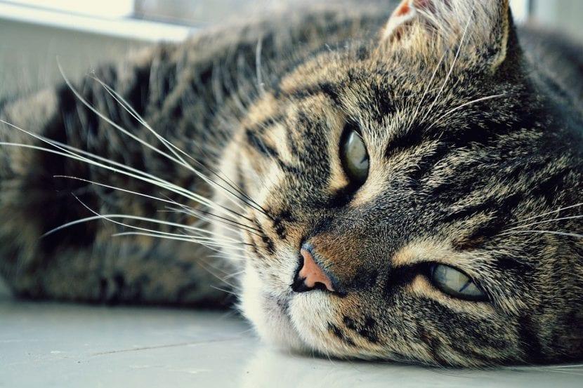 Los gatos viejos pueden tener artritis